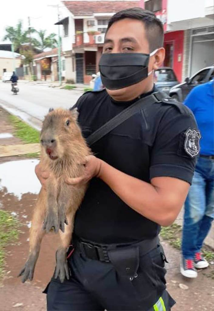 Apareció un carpincho en la ciudad y fue devuelto a su hábitat natural